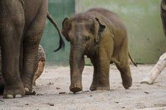 De Aziatische olifant, Elephas-maximus riep ook Aziatische olifant royalty-vrije stock afbeelding