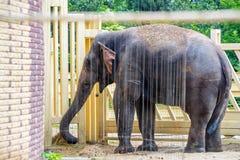 De Aziatische olifant of elephasmaximus nemen douche in gevangenschap royalty-vrije stock fotografie