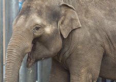 De Aziatische olifantsbaby glimlacht Royalty-vrije Stock Afbeelding
