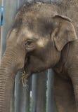 De Aziatische olifantsbaby glimlacht Royalty-vrije Stock Foto's