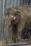 De Aziatische olifantsbaby glimlacht Royalty-vrije Stock Afbeeldingen