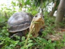 De Aziatische Schildpad van de Doos Royalty-vrije Stock Foto's