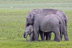 De Aziatische scène van de olifantsfamilie Royalty-vrije Stock Fotografie