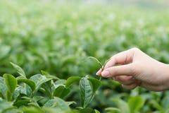 De Aziatische vrouw die omhoog de theebladen van de theeaanplanting met de hand plukken, de nieuwe spruiten is zachte spruiten He Royalty-vrije Stock Foto
