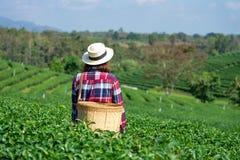De Aziatische vrouw die omhoog de theebladen van de theeaanplanting met de hand plukken, de nieuwe spruiten is zachte spruiten He stock foto's