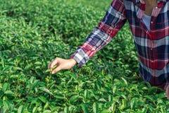 De Aziatische vrouw die omhoog de theebladen van de theeaanplanting met de hand plukken, de nieuwe spruiten is zachte spruiten He royalty-vrije stock fotografie