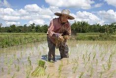 De Aziatische vrouwenwerken aangaande het padieveld royalty-vrije stock foto
