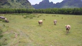 De Aziatische waterbuffels weiden op verse het oogmening van de gebiedsvogel stock footage