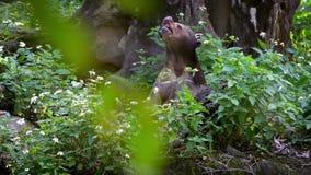 De Aziatische Zon draagt tonend zijn krachtige kaken in een bos tussen bomen bij dierentuin stock footage