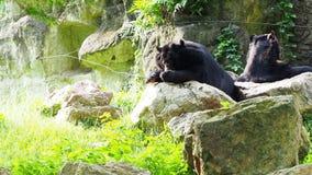 De Aziatische zwarte draagt rustend op rotsen en likkend voeten met een andere zwarte draag stock footage