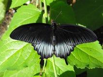 De Aziatische zwarte variatie van Swallowtail onbeweeglijk met open vleugels Stock Fotografie