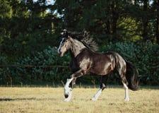 De Baaihengst van het graafschappaard het lopen weiland royalty-vrije stock foto's
