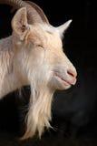 De baard van de geit Stock Fotografie