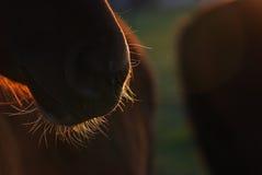 De baard van het paard stock afbeelding