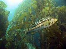 De Baarzen van de kelp in de Kelp Stock Afbeeldingen