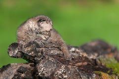 De baby Bobcat Kit (Lynxrufus) ligt op Logboek net Kijkend Stock Afbeeldingen