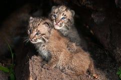 De baby Bobcat Kits (Lynxrufus) kijkt omhoog Royalty-vrije Stock Foto