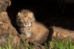 De baby Bobcat Kitten (Lynxrufus) kijkt Recht uit van binnenuit L Stock Foto's