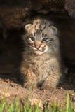 De baby Bobcat Kitten (Lynxrufus) zit omhoog binnen Logboek Royalty-vrije Stock Afbeelding