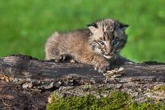 De baby Bobcat (Lynxrufus) kijkt uit van boven op Logboek Stock Fotografie