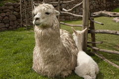 De baby en de moeder van de alpaca Royalty-vrije Stock Foto
