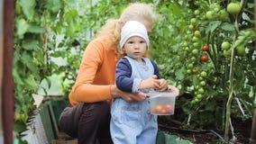 De baby en de grootmoeder plukken tomaten stock video