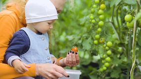 De baby en de grootmoeder plukken tomaten stock videobeelden