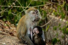 De Baby van aapbrestfeeding Stock Foto