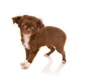 De baby van Chihuahua Stock Foto