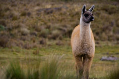 De baby van de alpaca royalty-vrije stock fotografie