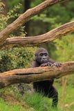 De baby van de gorilla status stock afbeeldingen