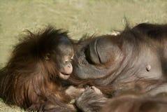 De baby van de orangoetan met moeder Stock Foto's