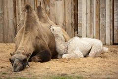 De baby van het de moederverstand van de kameel Stock Afbeeldingen