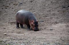 De baby van Hippo Stock Afbeelding