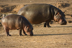 De baby van Hippo met moeder Stock Afbeeldingen