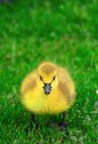 De Baby van Loonie op gras Royalty-vrije Stock Afbeelding