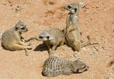 De baby van Meerkats Royalty-vrije Stock Foto's