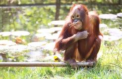De baby van de orangoetan stock fotografie