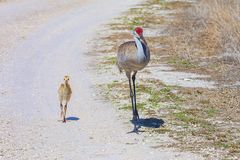 De Baby van Sandhillcrane mother walking with her royalty-vrije stock foto
