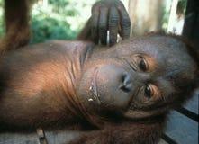 De Baby van Utan van de Handicapedorang-oetan in Sepilok royalty-vrije stock foto