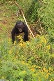 De babyaap die van Bonobo omhoog eruit ziet stock afbeeldingen