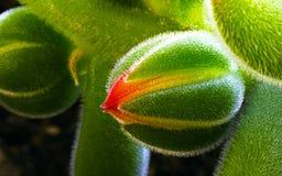 De babybloem van Echeveriapulvinata Stock Foto