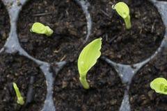 De babyinstallatie met waterdaling in cultiveert dienblad van hoogste vi Stock Foto's
