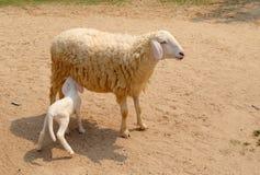 De babylammeren zogen melk van moederschapen Stock Foto