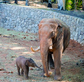 De babyolifant bereikt voor voedsel Royalty-vrije Stock Afbeelding