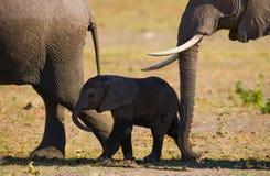 De babyolifant het gaat dicht bij zijn moeder afrika kenia tanzania serengeti Maasai Mara Stock Afbeeldingen