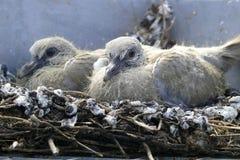 De babys van de duif Stock Afbeeldingen