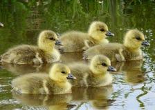 De babys van de Grauwe gans greyleg gans Stock Foto