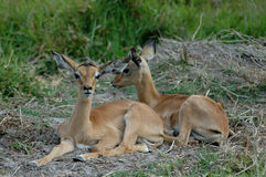 De babys van de impala royalty-vrije stock afbeeldingen