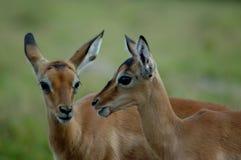 De babys van de impala Stock Afbeeldingen